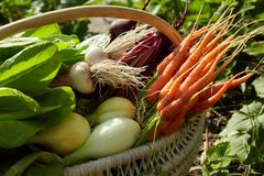 in the harvest basket: beets, onions, garlic, carrots outdoors royalty free stock photography