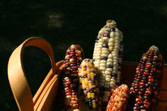 Harvest basket of indian corn. Wooden basket with ears of indian corn Royalty Free Stock Photography