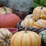 Ripe different pumpkins. A harvest of beautiful mature unusual pumpkins different form royalty free stock photos