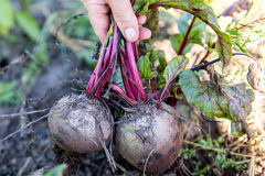 Harvest beet in the autumn Royalty Free Stock Image