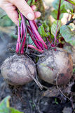 Harvest beet in the autumn Royalty Free Stock Photos