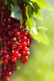 Harvest berries red currants Royalty Free Stock Photography