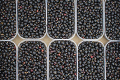 Harvest of black currant Royalty Free Stock Images