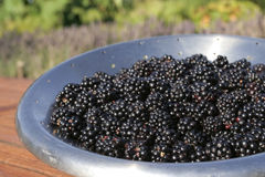 Harvest of Black currants Stock Image
