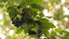 Harvest blackcurrants. tasty berry on the branch. garden business. close-up. black ripe juicy currants in the garden, a stock video footage