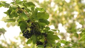 Harvest blackcurrants. tasty berry on the branch. garden business. close-up. black ripe juicy currants in the garden, a stock video