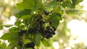 Harvest blackcurrants. tasty berry on the branch. garden business. close-up. black ripe juicy currants in the garden, a. Harvest blackcurrants. tasty berry on stock video footage