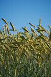 Harvest - blue sky and summer Royalty Free Stock Photos