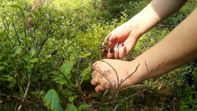 Harvest of blueberries in the woods stock footage