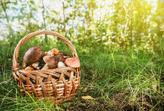 Harvest brown cap boletus in a basket Royalty Free Stock Photo