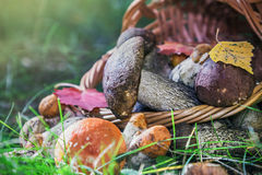 Harvest brown cap boletus in a basket Royalty Free Stock Photography