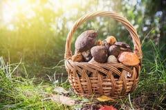 Harvest brown cap boletus in a basket Royalty Free Stock Photos