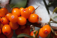 Harvest  buckthorn Royalty Free Stock Images