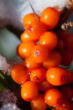 Harvest  buckthorn Stock Photo