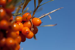 Harvest  buckthorn Royalty Free Stock Image