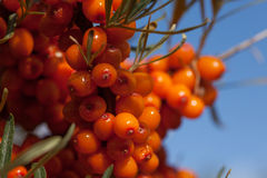 Harvest  buckthorn Stock Images