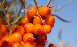 Harvest  buckthorn Stock Image