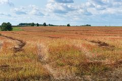 Harvest buckwheat field with red spikelets under a blue sky with white clouds. Royalty Free Stock Photo