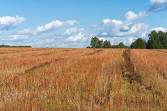 Harvest buckwheat field with red spikelets under a blue sky with white clouds. Stock Photos