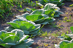 The harvest of cabbage in garden. The harvest of cabbage in the garden Stock Photo
