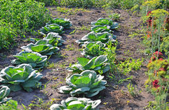 The harvest of cabbage in garden. The harvest of cabbage in the garden Royalty Free Stock Image