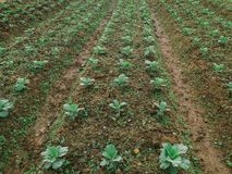 After harvest. Cabbage plant after harvested in a farm Royalty Free Stock Photos