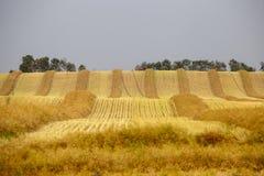 Harvest Canola Swath Saskatchewan royalty free stock image