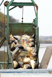 Harvest of carps Stock Photography