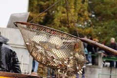 Harvest of carps Royalty Free Stock Photography