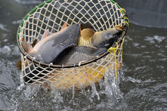 Harvest of carps Royalty Free Stock Photo