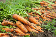 Harvest of carrots Royalty Free Stock Photo
