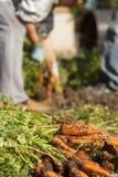 Harvest carrots Royalty Free Stock Photo