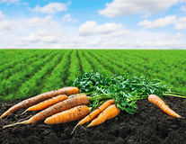 Harvest carrots on the ground Stock Image