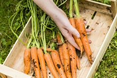 Harvest of carrots Royalty Free Stock Image