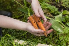 Harvest of carrots Royalty Free Stock Images