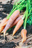 Harvest carrots on table Royalty Free Stock Photography