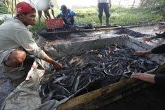 Harvest catfish Royalty Free Stock Image