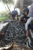 Harvest catfish Stock Photo