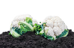 Harvest cauliflower on the ground on a white Royalty Free Stock Image