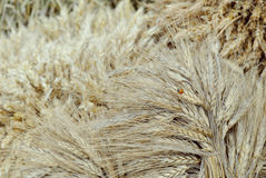 The harvest of cereals. Gathered sheaves Stock Images