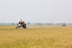 Harvest. In Chachoengsao province , thailand Stock Photography