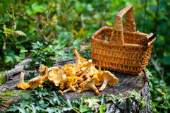 Harvest of Chanterelles-Cantharellus cibarius. Basket of chanterelles -Cantharellus cibarius in a french forest royalty free stock images