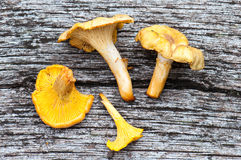 Harvest of Chanterelles-Cantharellus cibarius Stock Images