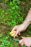 Harvest of Chanterelles-Cantharellus cibarius Stock Photography