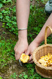 Harvest of Chanterelles-Cantharellus cibarius. Harveting chanterelles -Cantharellus cibarius in a french forest royalty free stock photos
