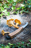 Harvest of Chanterelles-Cantharellus cibarius Stock Photo