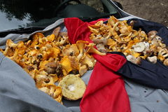 Harvest of chanterelles Stock Photo