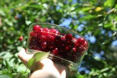Harvest of cherries Stock Images