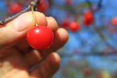 Harvest Cherry. On tree with hand royalty free stock photos