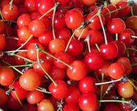 Harvest cherry red ripe autumn garden plants fall royalty free stock photo